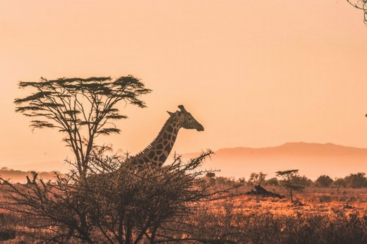žirafa, safari